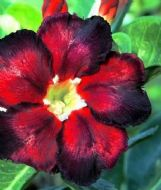 Adenium Obesum Desert Rose 'Super Black' 5 Fresh Seeds